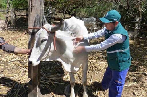 SENASA: En lo que va del 2020 se inmunizó en San Martín, 37 819 cabezas de ganado contra la rabia