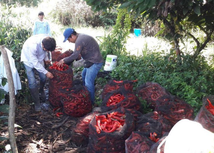 El ají cayena se convierte en otro de los productos estrella de San Martín